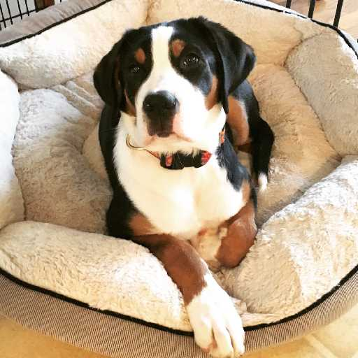 Our Story Callen Greater Swiss Mountain Dogs